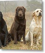 Three Kinds Of Labradors Metal Print