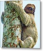 Three-toed Sloth Bradypus Tridactylus Metal Print