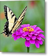 Tiger Swallowtail Butterfly On Zinnia Metal Print