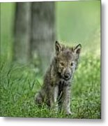 Timber Wolf Pup Metal Print