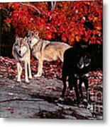 Timber Wolves Under  A Red Maple Tree Metal Print