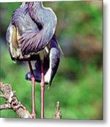 Tricolored Heron In Breeding Plumage Metal Print