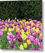 Tulip Flowers In A Garden, Chicago Metal Print
