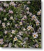 Tulipa Saxatilis Ssp. Bakeri Metal Print