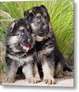Two German Shepherd Puppies Sitting Canvas Print Canvas Art By Zandria Muench Beraldo
