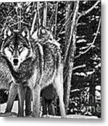 Two Gray Wolves Metal Print