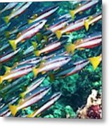 Two-spot Banded Snappers Metal Print