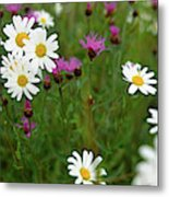 View Of Daisy Flowers In Meadow Metal Print