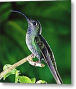Violet Sabre-wing Hummingbird Metal Print by Michael and Patricia Fogden