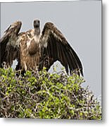 Vultures With Full Crops Metal Print