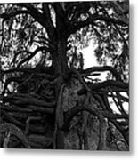 Walking Oak Metal Print