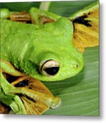 Wallace's Flying Frog Metal Print