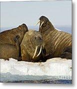 Walruses Resting On Ice Floe Metal Print