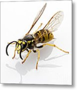 Wasp Isolated  Metal Print