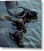 Water Buffalos Metal Print