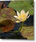 Water Lily 25 Metal Print