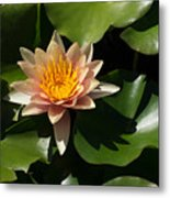 Exotic Colors - A Soft Coral Waterlily Metal Print