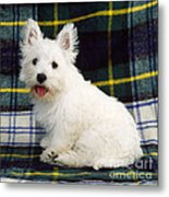 West Highland White Terrier Puppy Metal Print