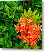 West Indian Jasmine In Sukhothai Historical Park-thailand Metal Print