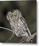 Whiskered Screech Owl Metal Print