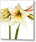 White Amaryllis Flower Metal Print