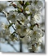 White Cherry Blossoms Metal Print