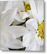 White Daisy Metal Print by John Holloway