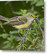 White-eyed Vireo Metal Print