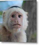 White Face Monkey  Metal Print