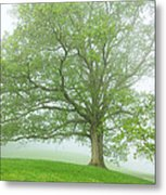White Oak Tree In Fog Metal Print