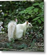 White Squirrel Metal Print