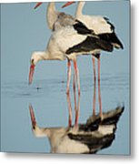 White Storks Ciconia Ciconia In A Lake Metal Print