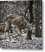 White-tail Deer Metal Print