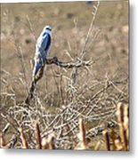 White Tailed Kite Metal Print