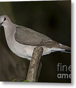 White-tipped Dove Metal Print
