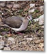 Whitetipped Dove Metal Print