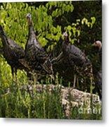 Wild Turkey Meleagris Gallopavo Metal Print