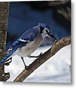 Hungry Winter Blue Jay Metal Print