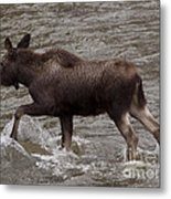 Yearling Moose In The Shoshone River   #1289 Metal Print