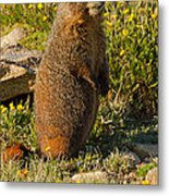 Yellow Bellied Marmot On Alert In  Rocky Mountain National Park Metal Print