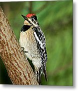 Yellow-bellied Sapsucker Metal Print