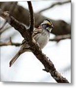 Yellow Crowned Sparrow Metal Print