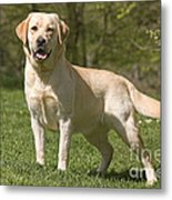 Yellow Labrador Retriever Metal Print