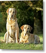 Yellow Labrador Retrievers Metal Print