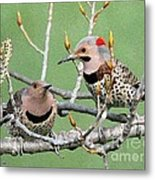 Yellow-shafted Northern Flickers Metal Print