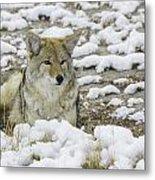 Yellowstone Coyote Metal Print