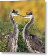 Young Herons Metal Print