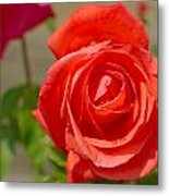 Young Red Rose After Rain Metal Print