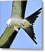 Young Swallow-tailed Kite Metal Print