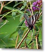 Zebra Swallowtail Butterfly At Butterfly Bush Metal Print